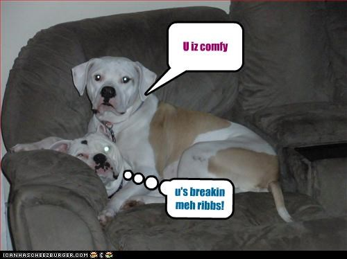 american bulldog,couch,crush,sitting,squish,uncomfortable
