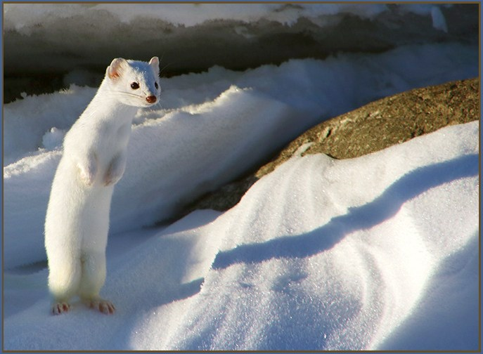 Amazing pictures of a Snow White Weasel - with cute picture of one for the cover graphic.