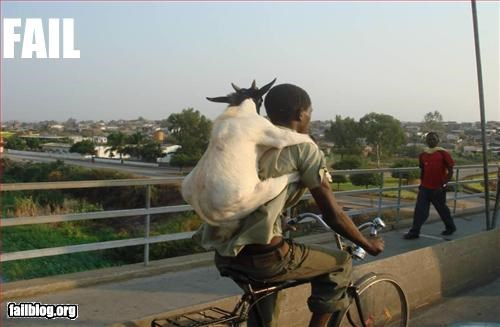 animals bicycle goat g rated rides sheep transportation