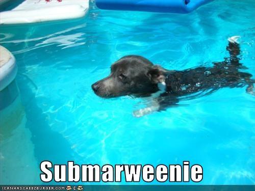 chihuahua pool submarine swimming weinie - 2228241664