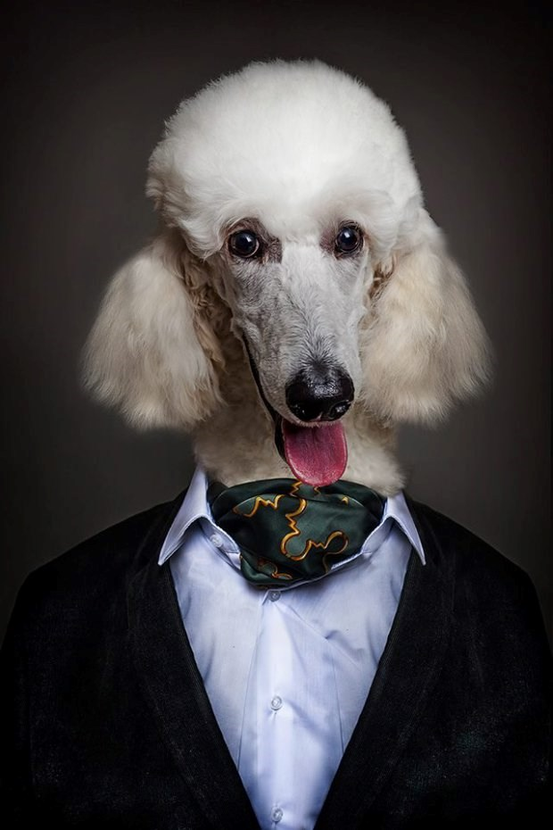 14 dogs dressed like humans based on their special characteristics - Poodle dressed in a fancy suit.
