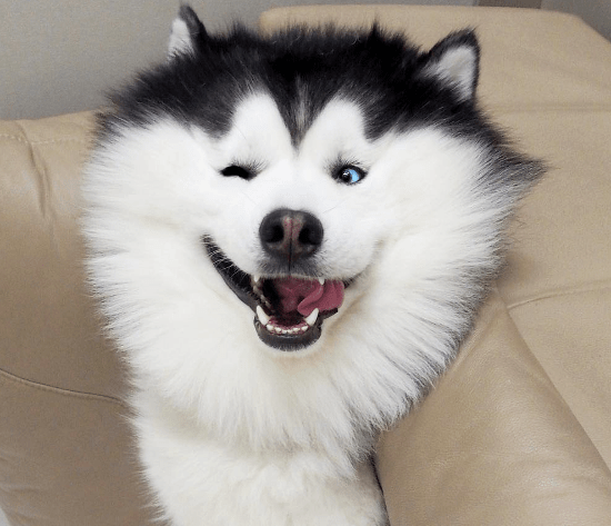 A picture of Maru the husky smiling at the camera - cover photo for a short list of how much the panda looking husky smiles.