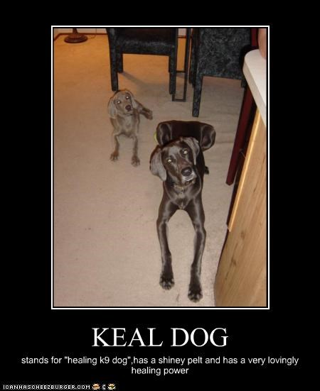 """KEAL DOG stands for """"healing k9 dog"""",has a shiney pelt and has a very lovingly healing power"""