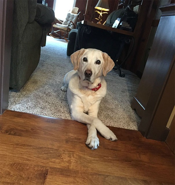 Picture of a dog thinking his is clever being have way in the dinning room not fully while he is not allowed - cover photo for a list of funny dogs who bend the rules and think they are getting away with it