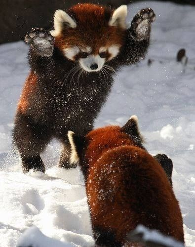 A picture of a red panda jumping at another red panda in the snow - a cover photo for a list of funny gifs on animals playing in the snow.