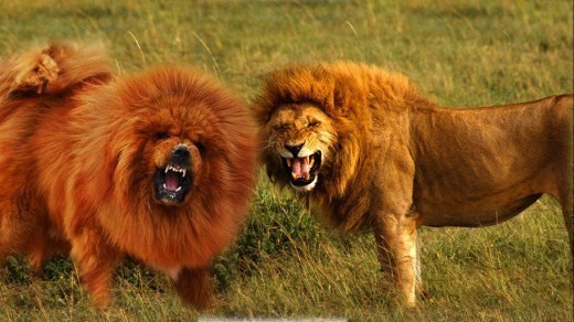 A picture of a dog that looks like a lion and a lion roaring - cover photo for a list of dogs that look like wild animals