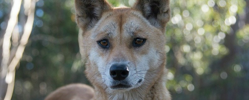 A Dingo wins the title of most interesting genome