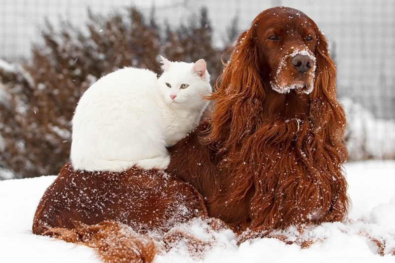 photos of cats and dogs getting along together - cover pic of white cat on a red/brown dog in the snow.