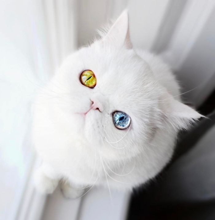 Kitten with rare eyes - one blue and one green