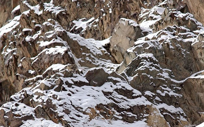 a snow leopard hidding - cover photo for a list of cool hidden animals in the wildlife