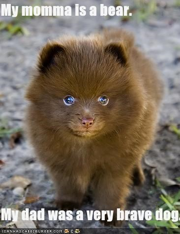 brave dad lolbears mom pomeranian puppy - 2297167616
