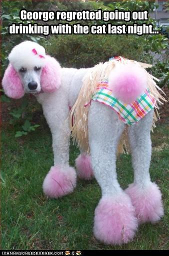 costume drink dyed fur FAIL lolcats poodle regret - 2308368640