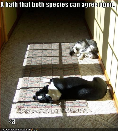 agree,bath,boston terrier,lolcats,sunbathing
