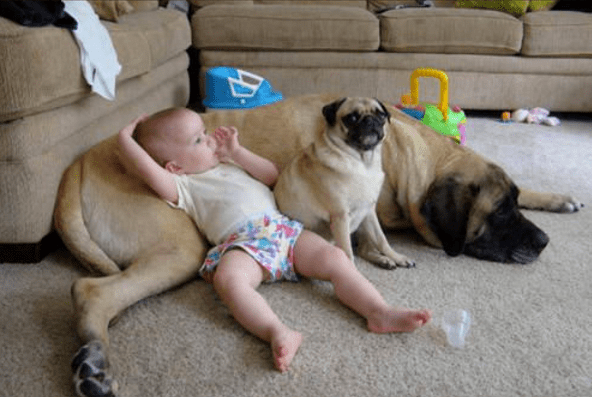 A picture of a baby lying down on a big dog and a little pug - cover photo for a list of babies and children with their pets
