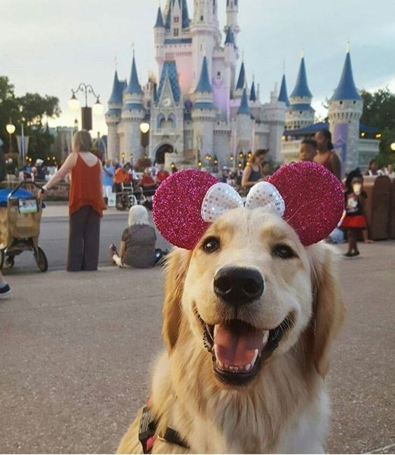 A cute dog in disneyland wearing mini mouse ears giving a very big smile - a cover photo for a list of animals smiling that will make anyones days