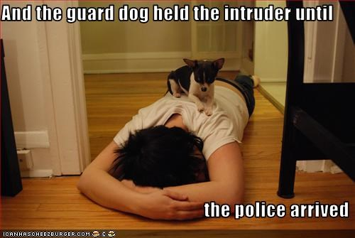 chihuahua,guard dog,intruder,police
