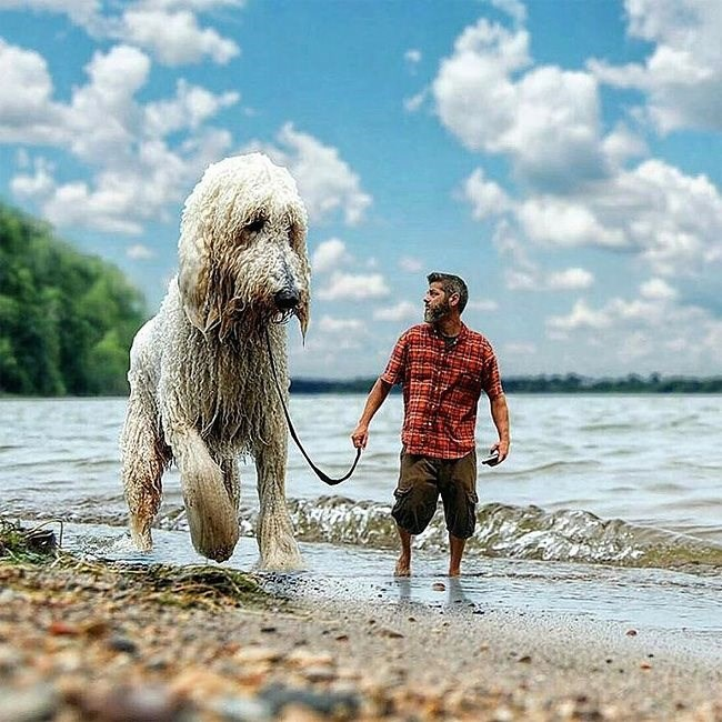 Photoshop of a man walking a horse sized poodle dog along the beach.