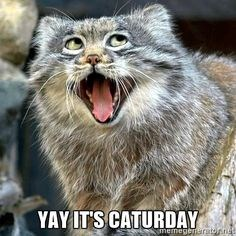 A photo of a cat yelling its caturday! - cover picture for a list of funny gifs of what cats are going to do on this day