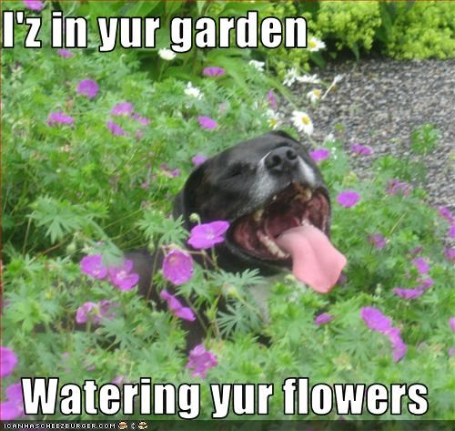 flowers,garden,pee,pitbull,water