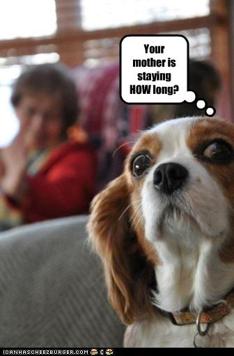 cavalier king charles spaniel,mother in law