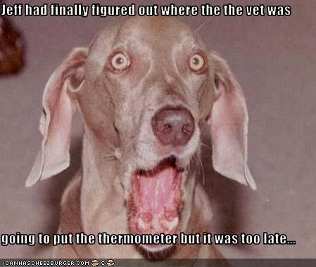 surprise thermometer vet weimaraner - 2328542464