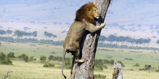 A picture of the lion in a tree - a funny list of pictures on how a lion runs aways from a herd.