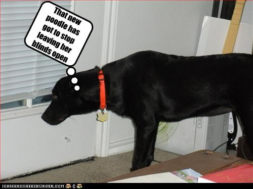 blinds,girl,labrador,peeping tom,poodle