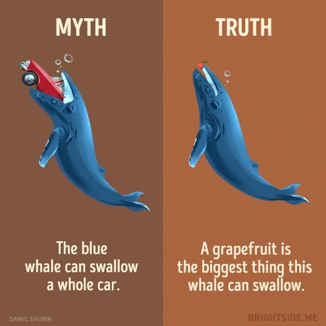 True and false about animals - Blue whale myth that it can swallow a car, in truth it can at most swallow a grapefruit.