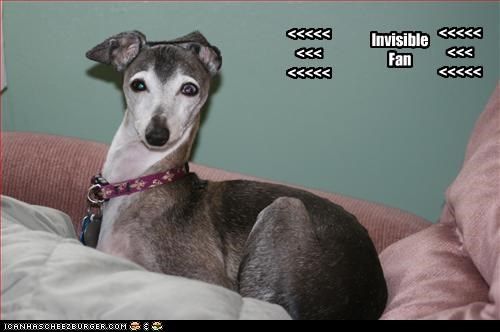 ears,fan,invisible,italian greyhound,sideways