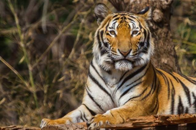 a picture of a tiger looking at the camera - cover photo for a story on why tigers how stripped fur