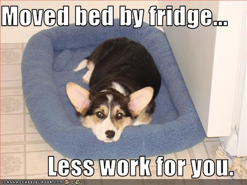 bed,close,corgi,eating,food,refrigerator