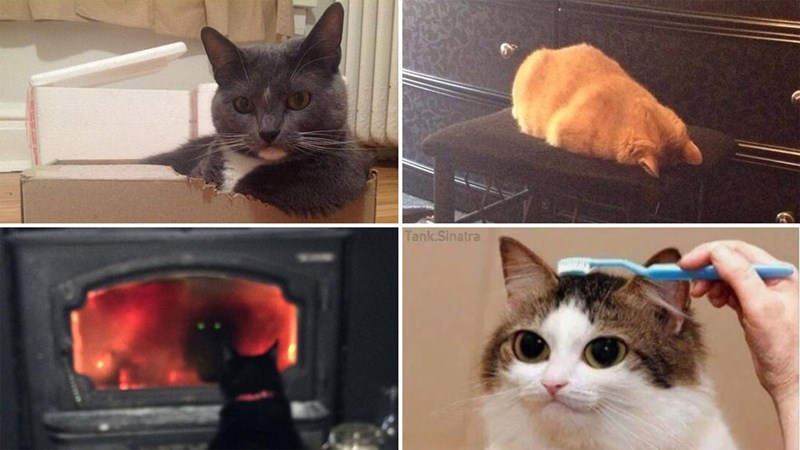 Funny collection of memes and GIFs of cute cats.