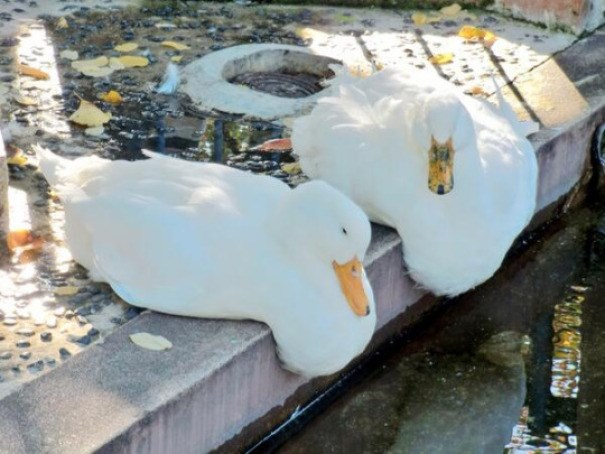 Photos of cute melting animals - Ducks melting into the pond
