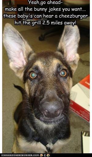 big cheezburger ears german shepherd hear huge - 2415524608