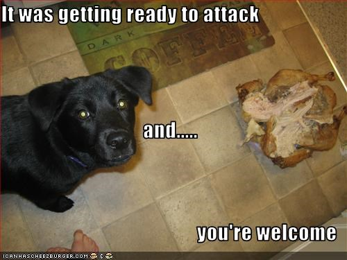 attack chicken FAIL food labrador protection - 2420776192