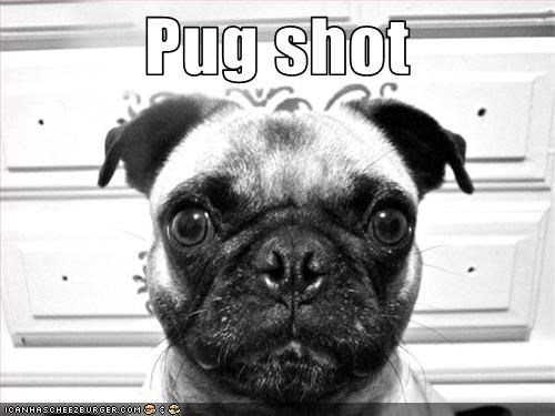 mug shot,police,pug,trouble