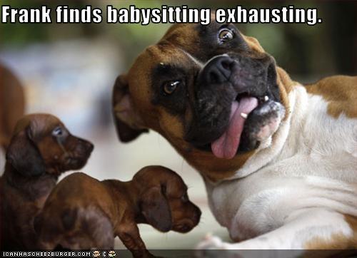 babysitting boxer dachshund puppies tired - 2431557376