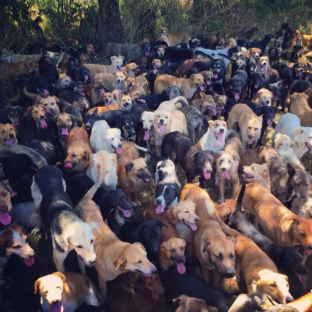 a picture of a lot of dogs - cover photo for a story of a women whose taken in over 900 dogs in costa rica.