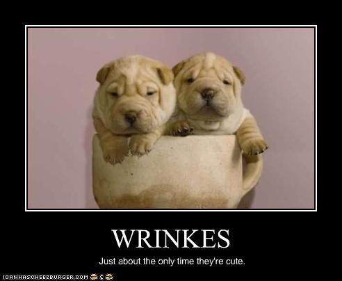 cute puppies shar pei wrinkles - 2452364544