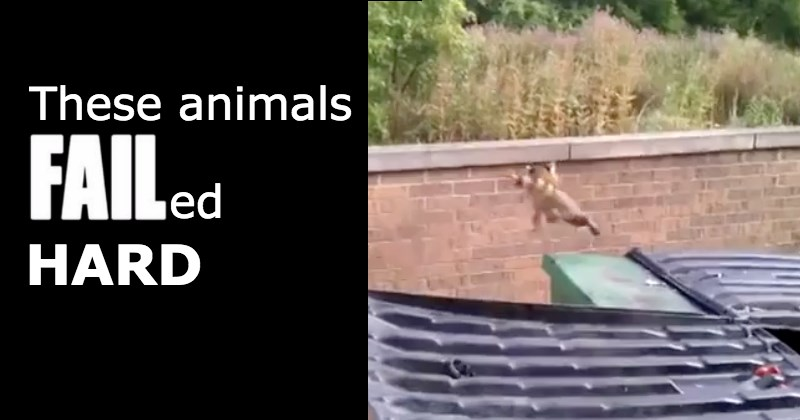 cheetah falls into a guided tour vehicle - cover image to a list of animal fails