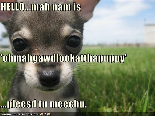 chihuahua hello look meet name please puppy - 2458253056