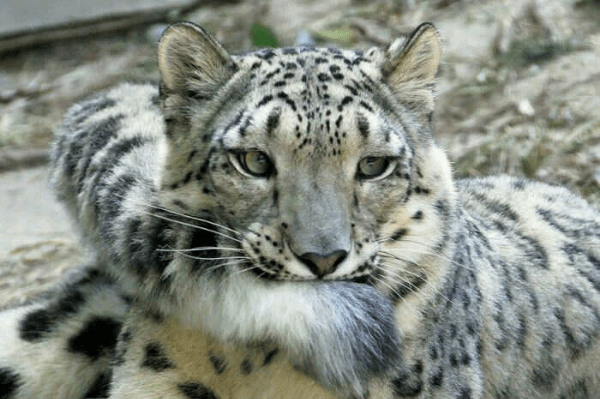 Adorable snow leopard cub biting and playing with its mothers tail - cover photo for a list of pictures of snow leopards and their tails