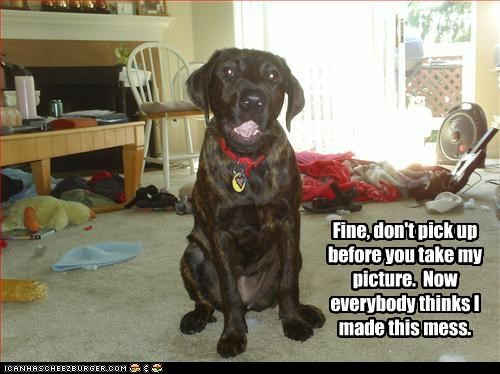 clean labrador mess picture pose - 2466585344