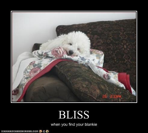 bichon frise,blanket,bliss,cuddle