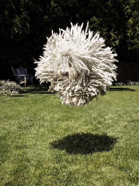 A picture of a dog that looks like a mop caught in mid air while jumping - cover photo for a list of animals that were pictures using a pause buttton