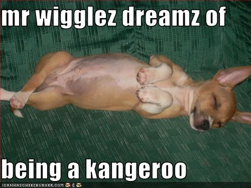 chihuahua,dreams,kangaroo,sleep