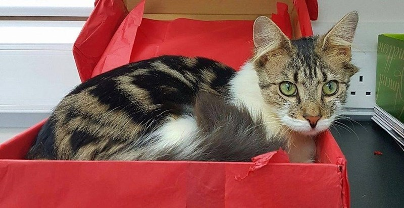 A picture of a tabby and white cat sitting in a red box - cover photo for a story of a cat that was found covered in oil and sick making it back to life.
