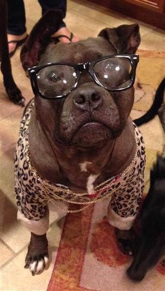 A picture of a Pitbull wearing doggles or dog glasses - cover photo for a story of a Pitbull that was nearly blind but can see better through contact lenses.