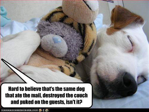 couch destruction eating jack russel terrier mail puke - 2491411200