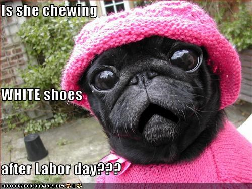 chew,etiquette,fashion,hat,holiday,labor day,pug,shock,shoes,sweater,white